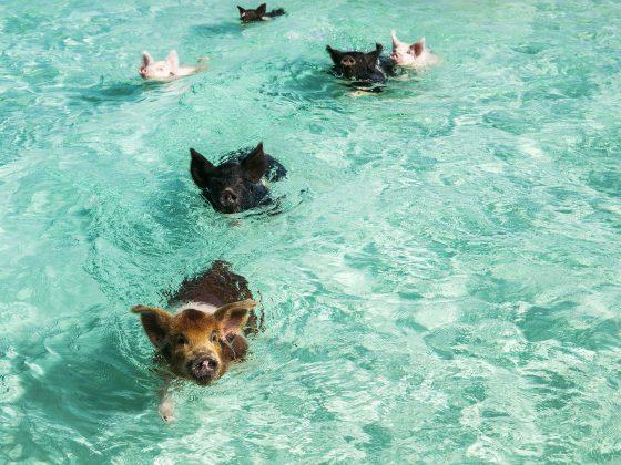 Swim with Pigs Grand Isle Resort & Spa